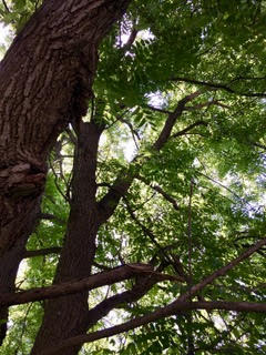 Enhanced_dads_blackwalnut_tree