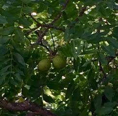 the green husked black walnut fruit